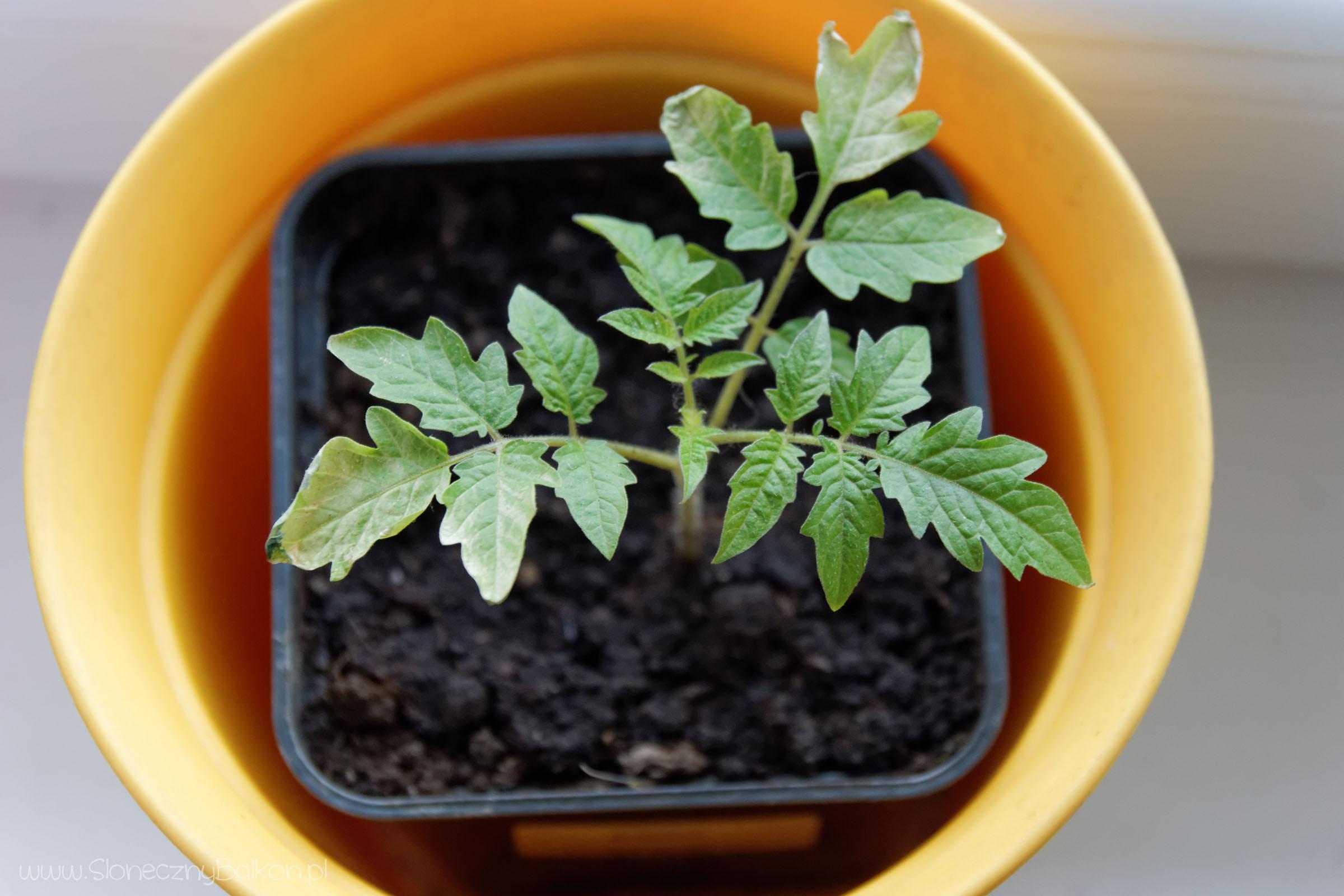2017-05-07_pomidor-zolty-gruszkowy