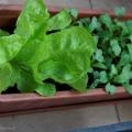 2017-05-06_salaty-rzodkiewki