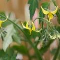 2017-05-16_pomidor-kwiaty