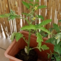 2017-05-16_pomidor1
