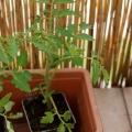 2017-05-16_pomidor4