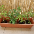 2017-05-16_pomidory-z-targu