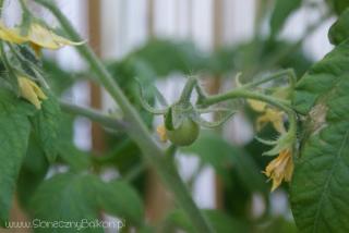 2012-06-29 Pomidorki koktajlowe zaczynają owocować