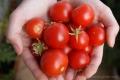 2012-08-10 zbiory pomidorków koktajlowych