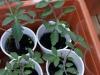 2012-05-19 pomidorki koktajlowe