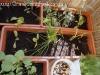 2012-05-21 sałaty i szczypiorek