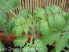 2012-06-07 pomidorki koktajlowe