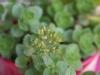 2012-06-17 rozchodnik kwitnie
