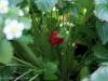 2012-06-20 Pierwsza czerwona poziomka