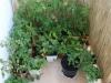 2012-06-29 Warzywa na balkonie