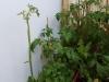 2012-06-30 Pomidorki koktajlowe po oberwaniu chorych liści