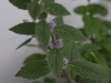 2012-07-22 mięta kwitnie