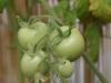 2012-07-22 pomidorki koktajlowe - czerwone (maskotka)