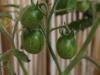 2012-07-22 pomidorki koktajlowe - żółte (cytrynek)