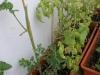 2012-07-22 połamany pomidorek