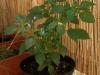 2012-08-07 chili pimenta na balkonie owocuje