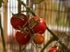 2012-08-07 pomidorki koktajlowe już czerwone