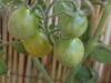 2012-08-07 żółte pomidorki koktajlowe nabierają koloru