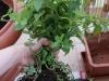 2012-08-12 mięta pieprzowa - bryła korzeniowa