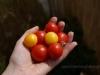 2012-08-12 zbiory pomidorków koktajlowych