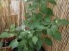 2012-09-05 chili pimenta