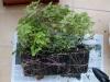 2012-10-24 mięty i melisa - bryła korzeniowa