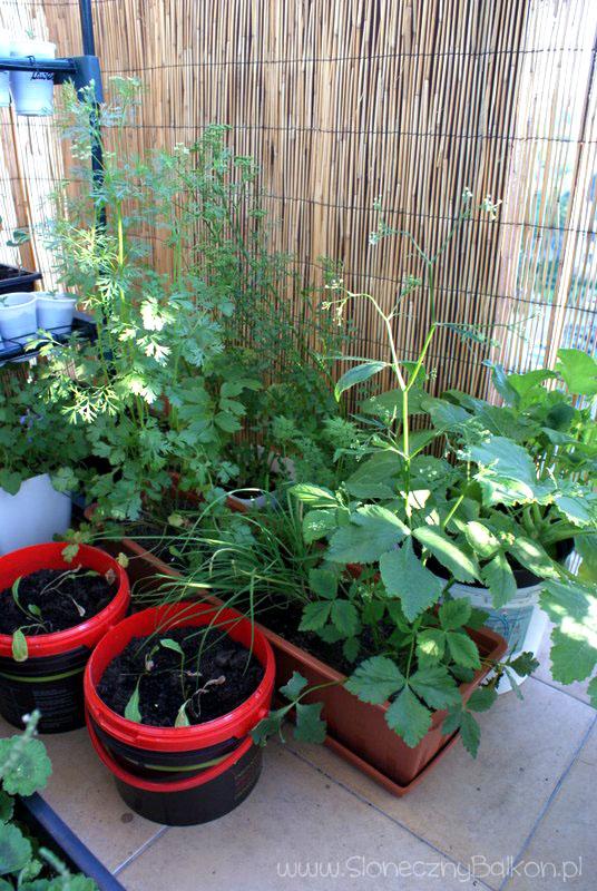2013-06-13 zioła na balkonie