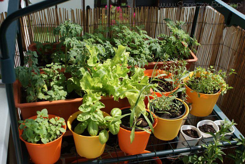 2013-07-06 zioła na balkonie