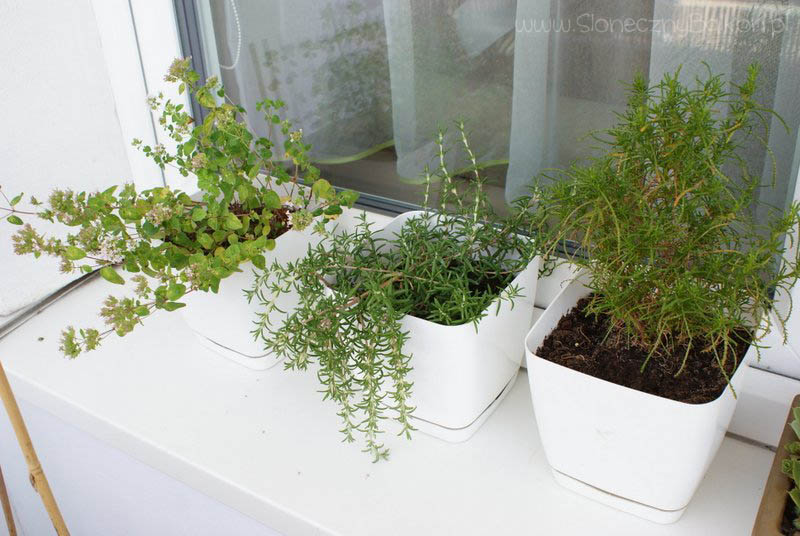 2013-08-04 oregano, rozmaryn i ziele oliwne