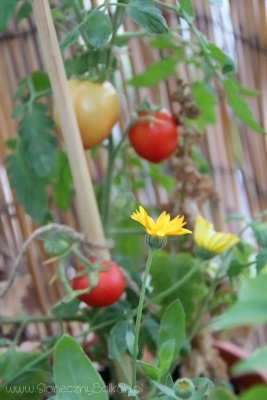2013-09-03 pomidory i nagietki