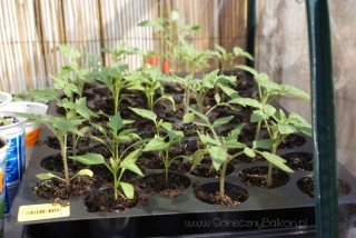 2013-05-09 pomidory i papryki