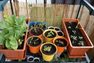 2013-06-02 zioła na balkonie