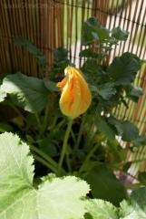 2013-06-19 cukinia kwiat