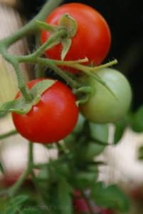 2013-08-04 pomidorki koktajlowe Maskotka