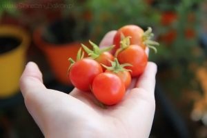 2013-09-03 pomidorki koktajlowe zbiory