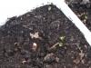 2013-04-14 mięta odbija po zimowaniu na balkonie