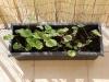2013-04-14 sadzonki pelargonii