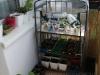 2013-04-21 sadzonki wystawione na balkon