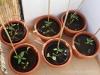 2013-05-19 pomidory bawole serca i słodkie papryki