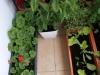 2013-06-02 zioła i pelargonie