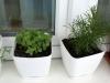 2013-06-02 oregano i ziele oliwne