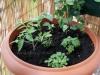 2013-06-02 pomidorki koktajlowe, papryka chili pimenta i zioła