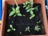 2013-06-02 pomidor owalny, papryka oleńka i zioła