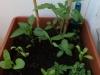 2013-06-13 pomidor, papryka i zioła