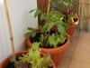 2013-06-13 pomidory owalne i sałaty