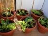 2013-06-13 pomidory bawole serca, słodkie papryki i sałaty