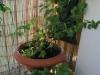 2013-06-13 zioła i warzywa na balkonie