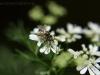 2013-06-19 kolendra kwitnie