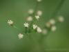 2013-06-19 mitsuba kwitnie