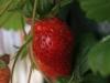2013-07-05 truskawka już czerwona